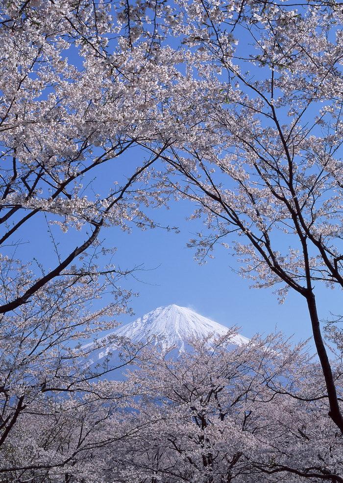 富士山樱花图片,富士山,樱花,雪山风景,山水,摄影,风景,2950x2094像素