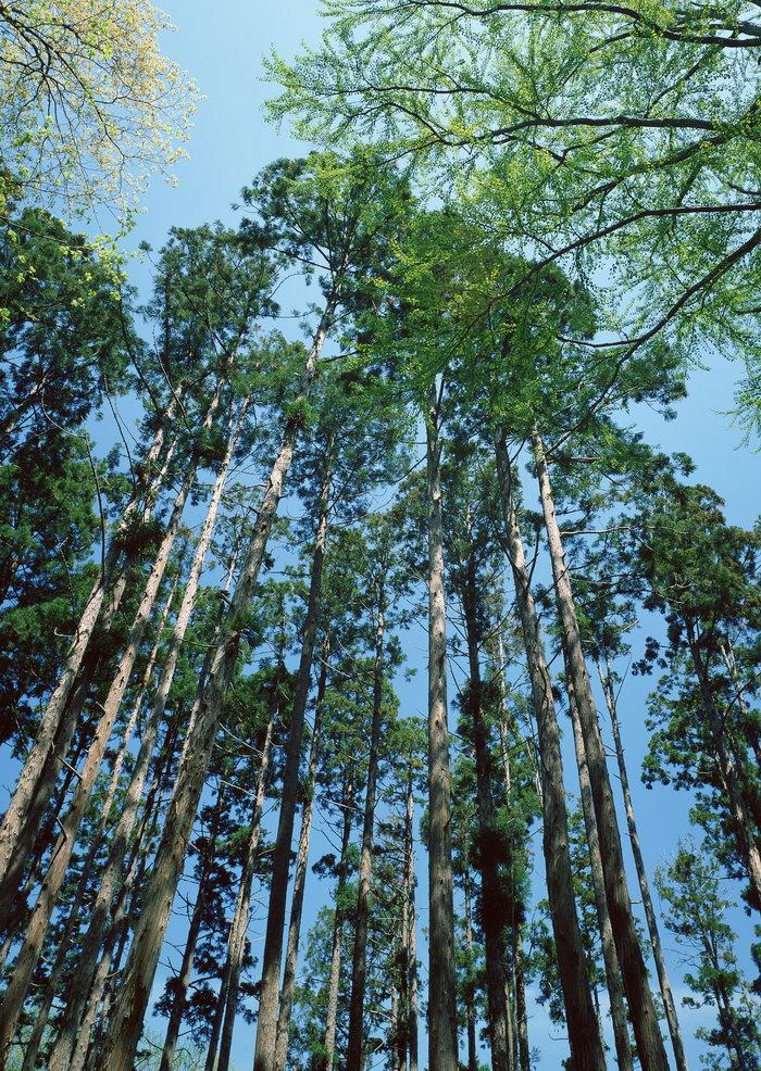 杉木林图片-素彩图片大全
