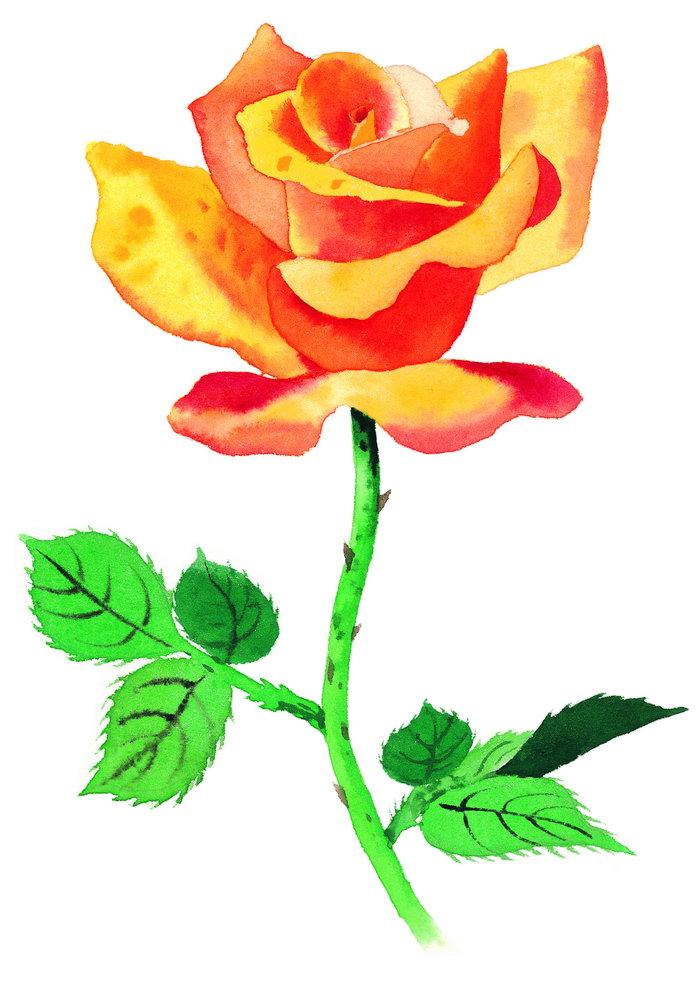 玫瑰水彩画图片