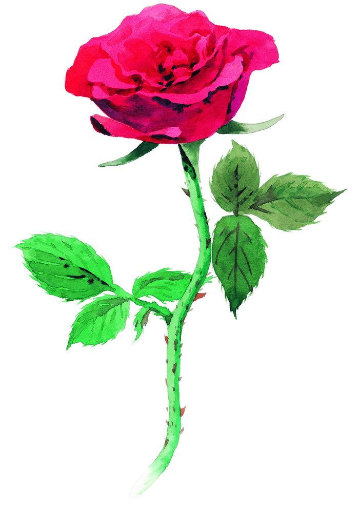 玫瑰水粉画图片