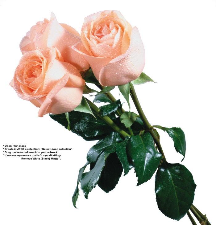 粉色玫瑰花图片-素彩图片大全