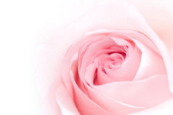 玫瑰花特写图片-素彩图片大全
