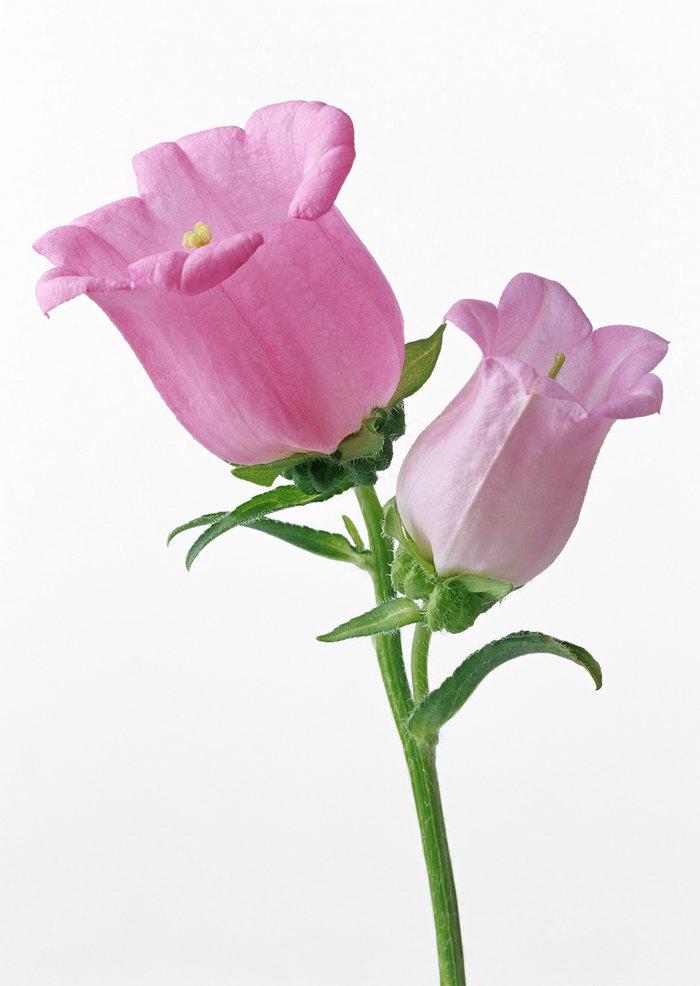 铃兰花图片