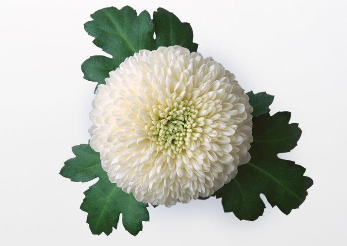 白色大丽花图片,白色大丽花花朵,鲜花,摄影,植物,花卉,2094x2950像素