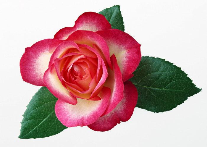 玫瑰花叶子图片-素彩图片大全