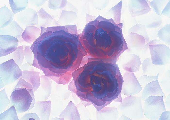 透明玫瑰花图片-素彩图片大全
