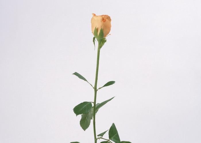 一束玫瑰花图片-素彩图片大全