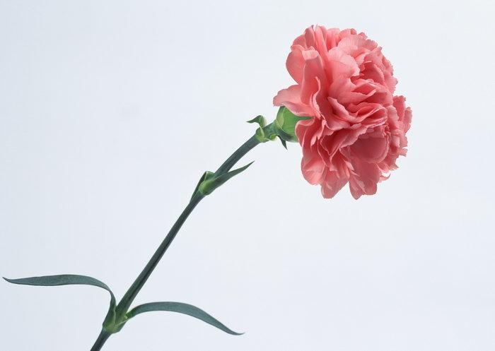康乃馨图片-素彩图片大全