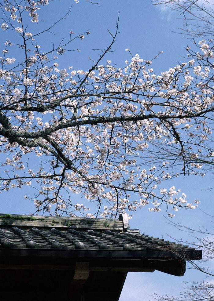 樱花图片,日本樱花风景,日本风景,国外旅游风景,名胜景观,摄影,风景