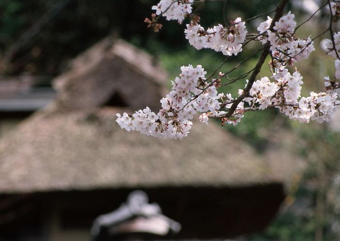 日本樱花图片,日本樱花风景,日本风景,国外旅游风景,名胜景观,摄影