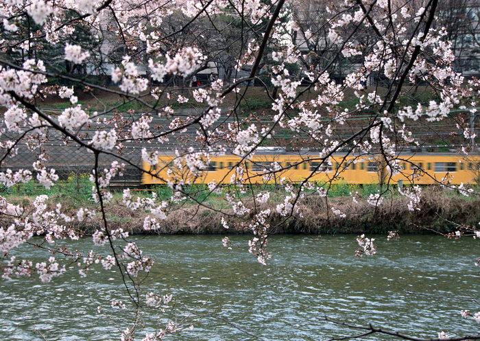 东京铁路图片,东京铁路,樱花,国外旅游风景,日本名胜景观,摄影,风景