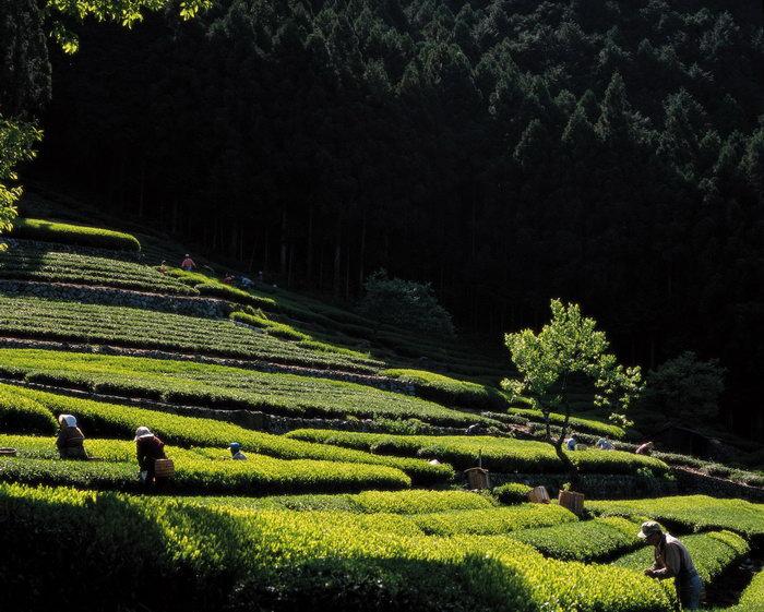 日本茶山图片,日本茶山,日本旅游风景,名胜景观,摄影,国外建筑,建筑