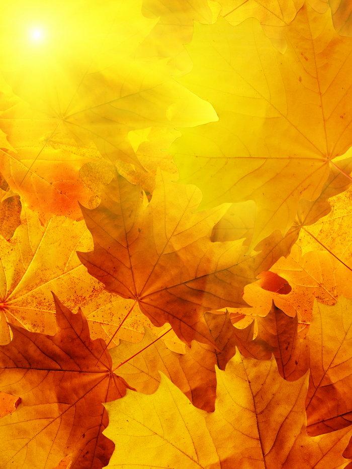 秋天枫叶图片,秋天枫叶,秋天枫叶背景,四季风景设计,风景,摄影,2250x