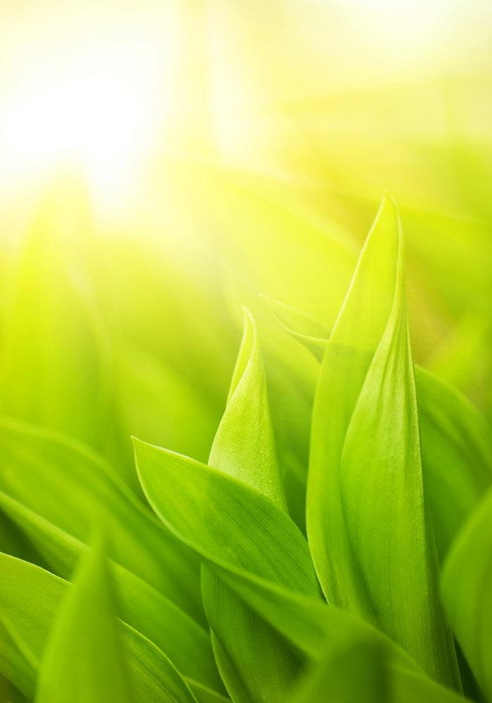 春天嫩苗图片,春天嫩苗,绿色幼苗,茶尖,四季风景设计,风景,摄影,2480x