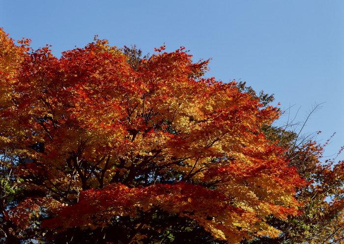 背景 壁纸 枫叶 红枫 绿色 绿叶 树 树叶 植物 桌面 700_497