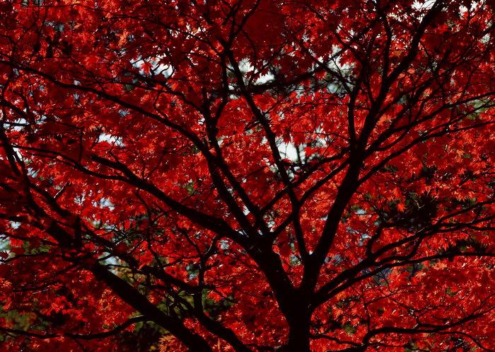 红色枫叶图片,红色枫叶,旅游风景,树木,树林,森林,四季风景,风景,2094