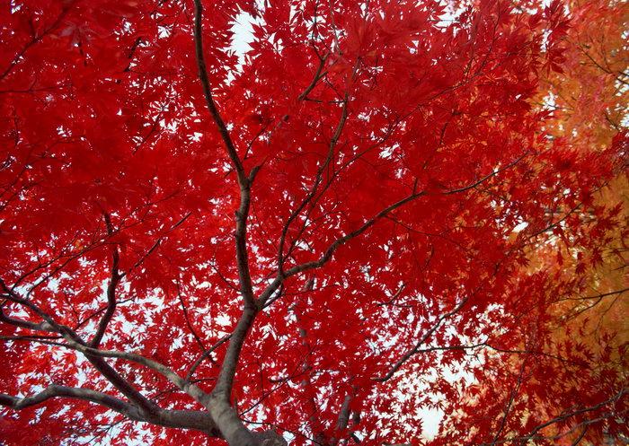 枫树枫叶图片,枫树,枫叶,旅游风景,树木,树林,森林,四季风景,风景