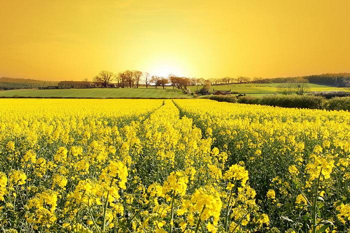 夕阳油菜花田园图片,夕阳,油菜花田园风景田园风光,自然美景,摄影,469