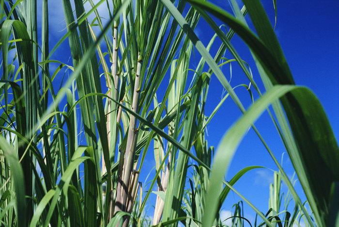 甘蔗林图片-素彩图片大全