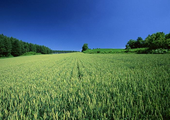 绿色的麦田图片-素彩图片大全
